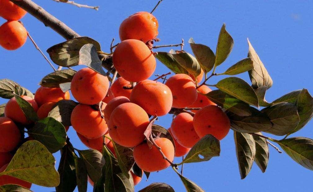 寒露吃柿子的寓意,寒露吃柿子什么意思-第2张图片-免单网
