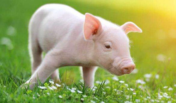 2021年养猪的行情会怎样,2021年养猪还能挣钱吗,2021年养猪的会多起来吗-第2张图片-免单网