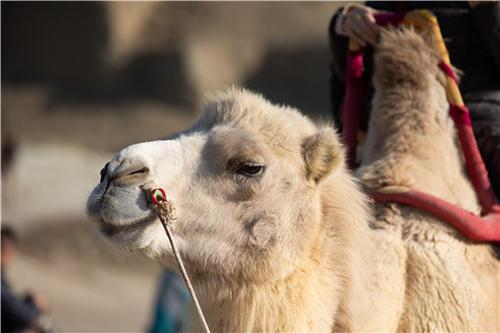 甘肃发现首例白化野骆驼,甘肃发现白化野骆驼-第1张图片-免单网