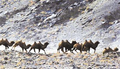 甘肃发现首例白化野骆驼,甘肃发现白化野骆驼-第2张图片-免单网