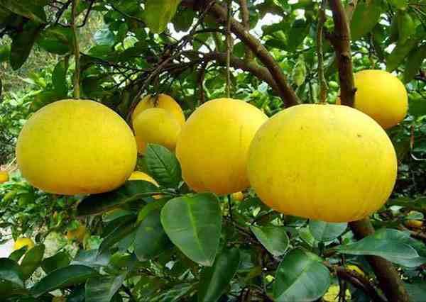 吃柚子有什么禁忌