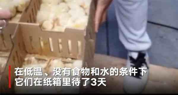 六千只被遗弃小鸡死于马德里机场