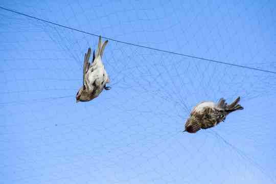 4人26天捕鸟8万余只,四川特大非法狩猎案曝光  第3张