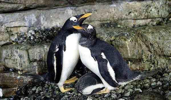 热文:同性恋公企鹅时隔一年再偷蛋