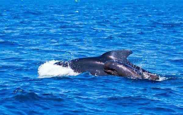 上百头鲸鱼在斯里兰卡海滩搁浅