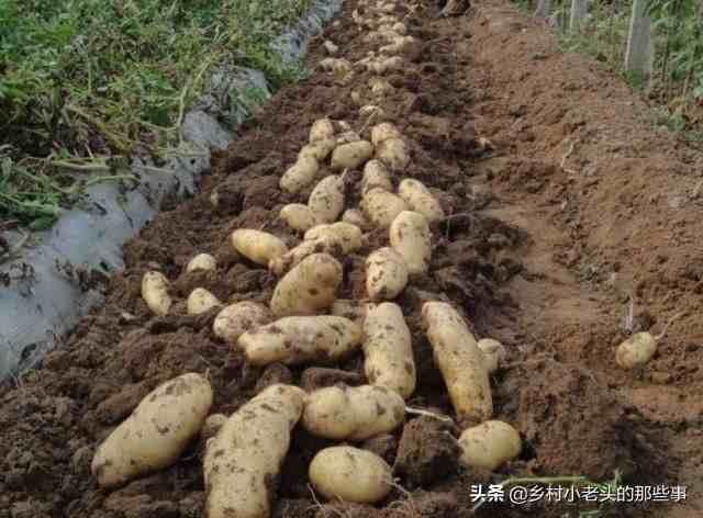土豆、洋芋、马铃薯是什么关系,老农妙语解疑惑,说的对吗