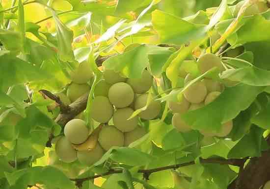银杏树的叶子像什么 银杏树叶能食用吗
