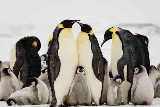 北极为什么没有企鹅,把企鹅运到北极会怎样?为什么科学家反对?