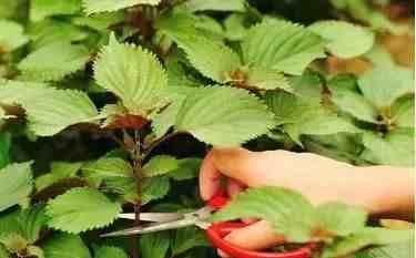 紫苏叶子香气浓郁,能生吃作调料还能泡茶喝