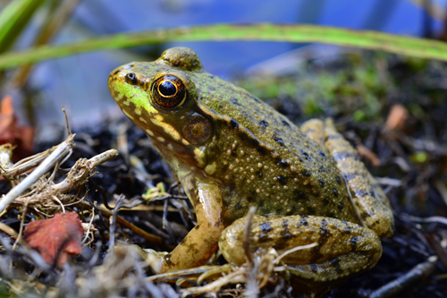 青蛙的简介
