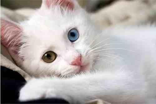 古老又高贵的猫中贵族一一安哥拉猫