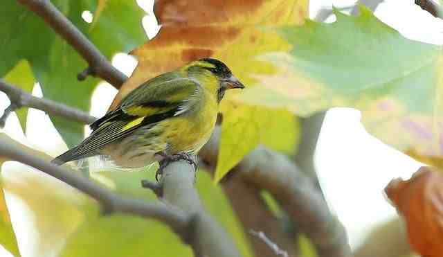黄雀的饲养方法,繁殖经验