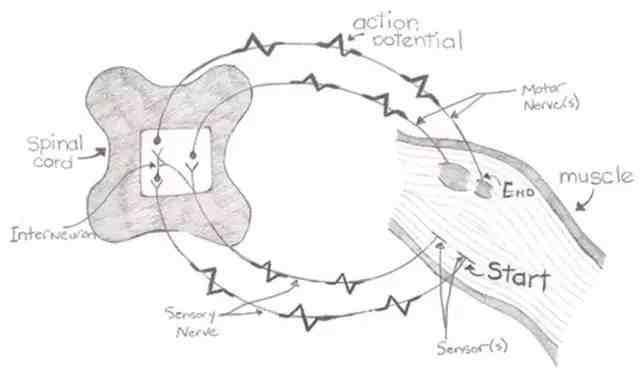 神经反射是如何发生的?