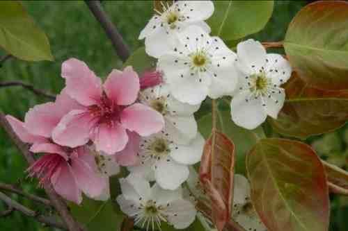 梨花是什么季节开的(梨花是什么颜色?什么时间开花?)