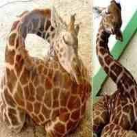 长颈鹿每天睡多长时间(长颈鹿是怎样睡觉的)