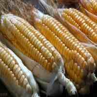 玉米深加工项目(4个玉米深加工小本投资好项目)