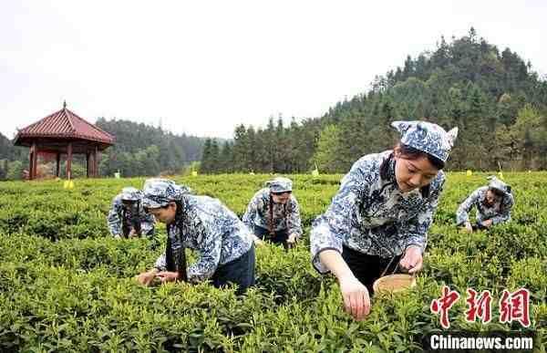 """湖南安化黑茶见证千年茶韵""""十里画廊""""续写乡村振兴"""