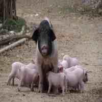 为什么母猪肉不能吃(为什么很多人都说母猪肉不能吃?)