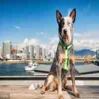 世界名犬智商排名(世界十大智商最高的狗狗排名)