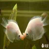 接吻鱼怎么养(接吻鱼的饲养基础小知识)