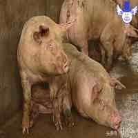 猪流感症状(猪流感的症状及治疗方法)