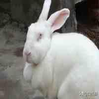 兔肉加工(冻兔肉加工技术)