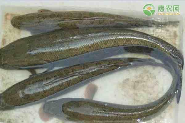 淡水鱼的种类(淡水鱼有哪些种类)