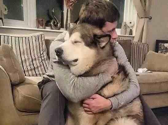 阿拉斯加雪橇犬怎么养(新手怎么养阿拉斯加?)