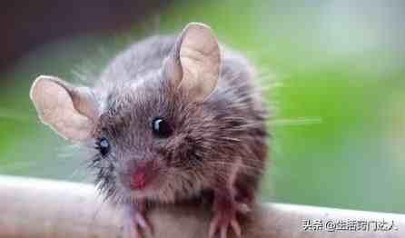 老鼠怎么灭(家里出现老鼠该怎么办?)