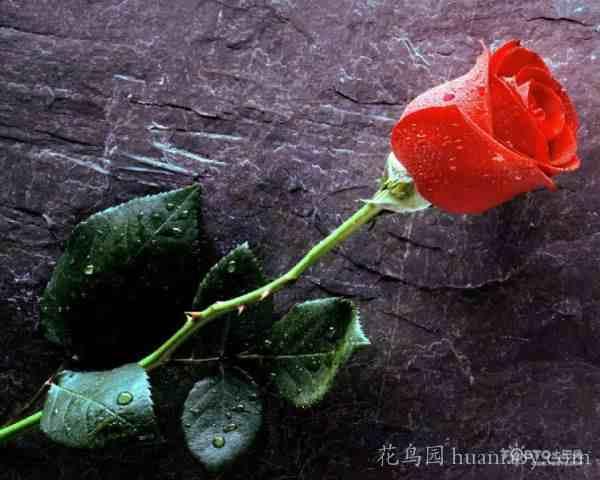 红玫瑰花语是什么?(红玫瑰的美丽传说)