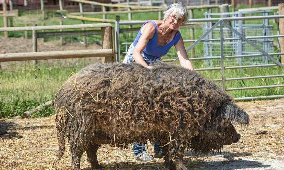 绵羊和猪杂交?新物种却成匈牙利国宝,更在布达佩斯大展获得金奖