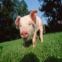 豬的養殖技術(怎樣才能養好母豬)